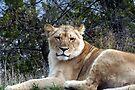 Lioness by Dave & Trena Puckett