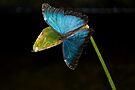 Blue Morpho, Morpho Peleides by RatManDude