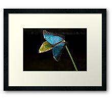 Blue Morpho, Morpho Peleides Framed Print