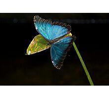 Blue Morpho, Morpho Peleides Photographic Print