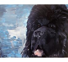 Portrait of a Newfoundland Dog Photographic Print