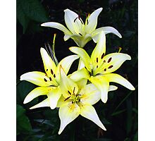 Asiatic Lily Photographic Print