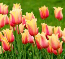 Orange yellow Tulips Sticker