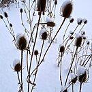 winter burdock by cammisacam
