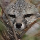 Grey Fox by tomryan