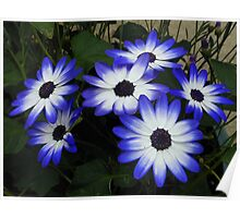 Blue and White Cinerarias Poster