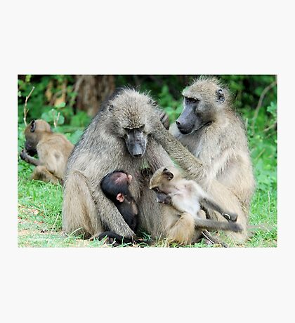 FAMILY TIME - THE CHACHMA BABOON - Papio ursinus Photographic Print