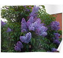 Purple Lilac Blossoms Poster