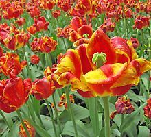 Square Yellow and Red Tulips by Adri Turner