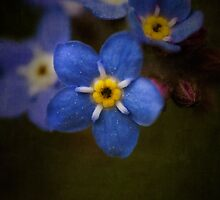 Forget-me-not by Jill Ferry