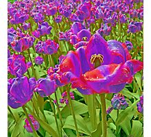 Wild Version Pink and Purple Tulips Photographic Print