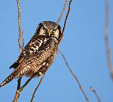 Northern Hawk Owl by Ron Kube