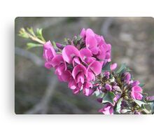 The Holly leaved mirbelia Canvas Print