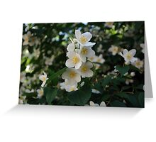 Jasmine, fresh and aromatic Greeting Card