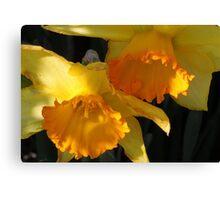 Daffodils...... Canvas Print