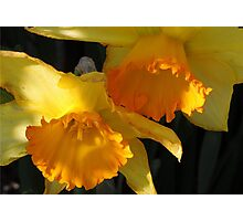 Daffodils...... Photographic Print