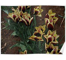 Tulips..Gavota Variety Poster