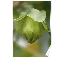 Cup-and-Saucer Flower Bud Poster