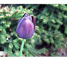 Purple Tulip Photographic Print