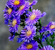Asters Aglow by starlitewonder