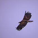 Bald Eagle (juvenile) by Anne-Marie Bokslag