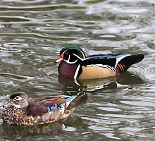 Wood Duck Couple by Jenn Shiels