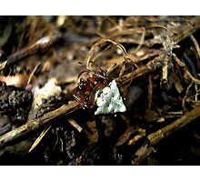 Triangulate Orb Weaver Photographic Print