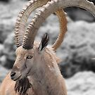Male Ibex by Dyle Warren