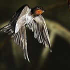 Swallow in Flight by AlanRoberts