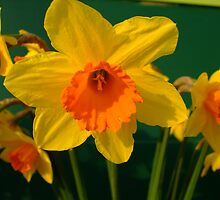 Daffodil's by exmouthspider