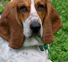 smokey, the distinguished basset by 1busymom