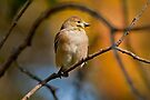 AMERICAN GOLDFINCH by Sandy Stewart