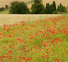 Poppies in Cotswold Field England UK by Nick Jenkins