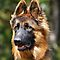 Belgium or German Shepherd Photo only - Picture must be in Group