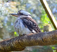 Kookaburra at Abbots bury Dorset UK by lynn carter