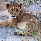 Lion Cub, Central Kalahari Game Reserve, Botswana by Adrian Paul