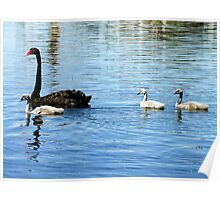 Black Swan with Cygnets Poster