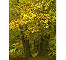 Old beech trees Photographic Print