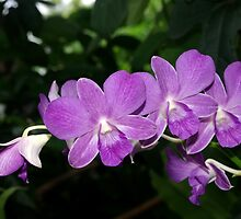 Purple Orchid by Rainy