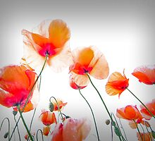 Parasol Poppies by geoff curtis