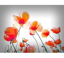 Parasol Poppies Photographic Print