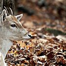 The Little Fawn by Gisele Bedard