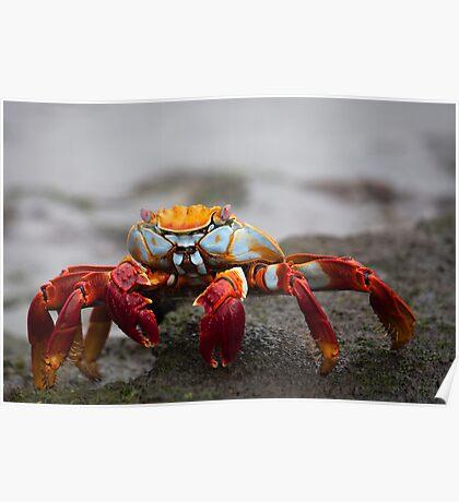 Bid reg crab Poster