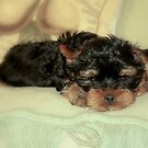 Yorkie puppy by i l d i    l a z a r
