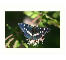 Southern White Admiral Butterfly  Art Print