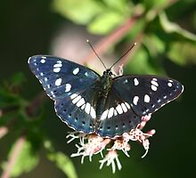 Southern White Admiral Butterfly  by Michael Field