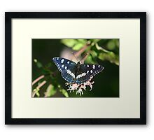 Southern White Admiral Butterfly  Framed Print