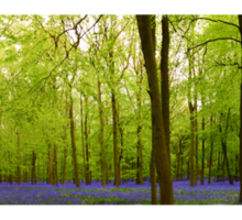 Amazing Bluebell Wood - Panorama Sticker