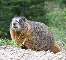 Marmot by David Shaw
