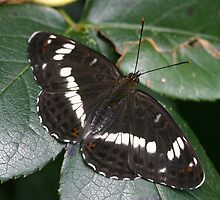 White Admiral Butterfly by Michael Field